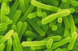 бифидобактерии, биопленка