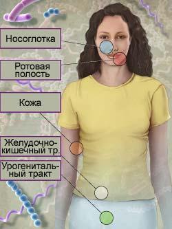 бифидобактерии бифидум и лактобактерии